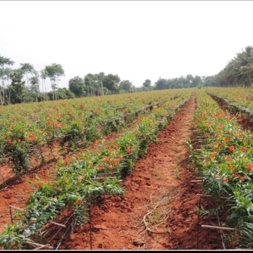 Gloriosa Seed Farming