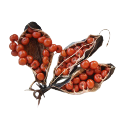 Gloriosa Superba Seed